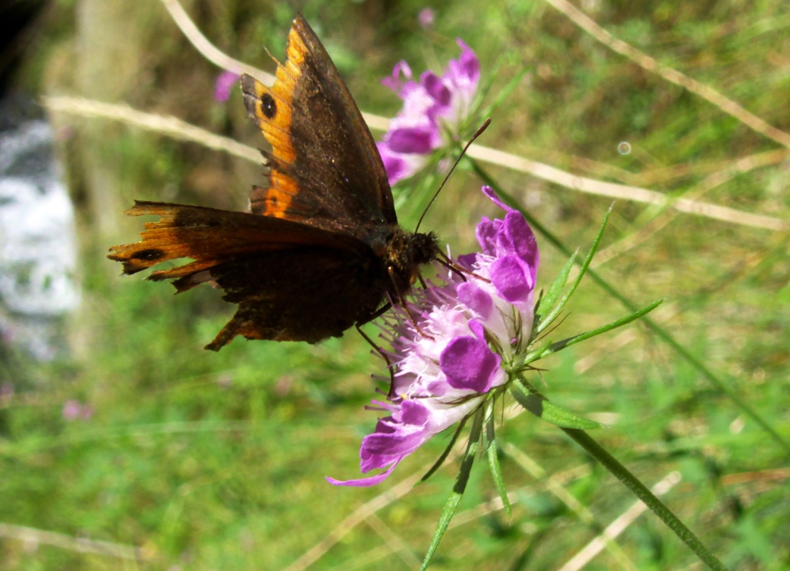 Pure Romania Nature Butterfly