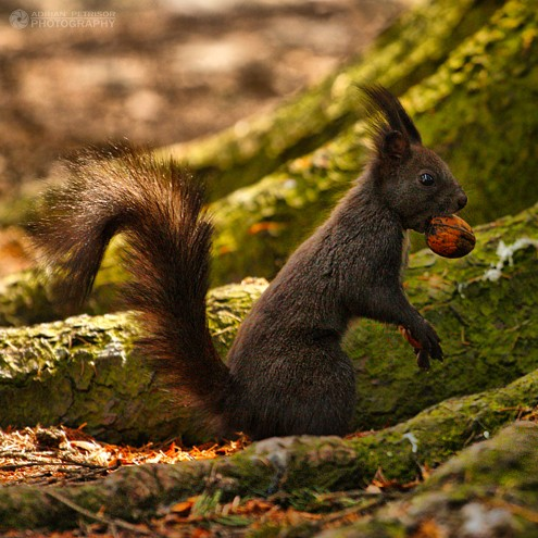 Wild Nature, Romania, Squirrel Romania, Adrian Petrisor photography copyrights