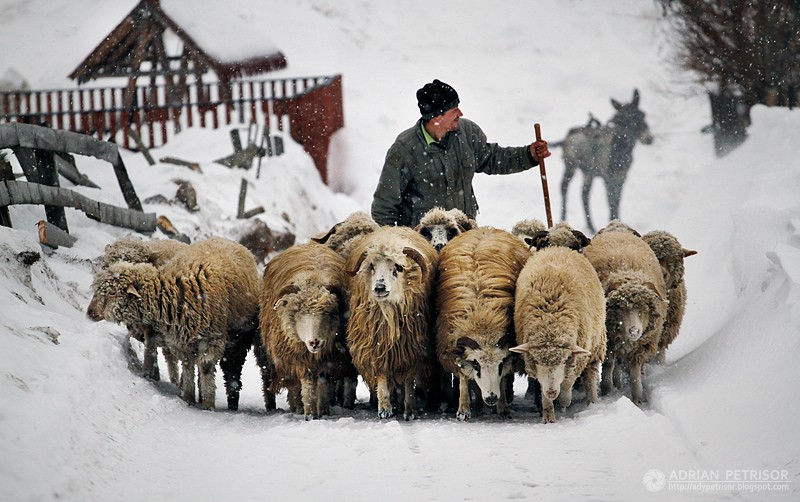 sheeps and villager in winter Romania